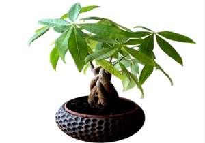 发财树的养殖方法及注意事项介绍!